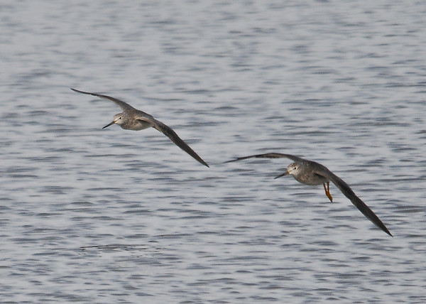 "<div class=""jaDesc""> <h4> Greater Yellowlegs In-flight - December 16, 2014 </h4> <p> Two Greater Yellowlegs took off together to move to a new hunting spot.</p> </div>"