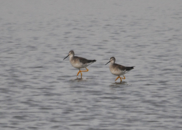 "<div class=""jaDesc""> <h4> Greater Yellowlegs Synchronized Walk - December 16, 2014 </h4> <p> This Greater Yellowlegs pair was walking through the shallow water in perfect step synchronization.  Chincoteague Wildlife Refuge</p> </div>"
