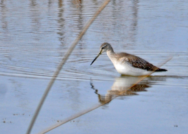 "<div class=""jaDesc""> <h4> Greater Yellowlegs Foraging - November 10, 2014 </h4> <p> This Greater Yellowlegs moved off by itself to forage in the main pool at Montezuma NWR.</p> </div>"