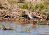 "<div class=""jaDesc""> <h4> Greater Yellowlegs Hunting - May 17, 2012 </h4> <p>I visited a local wetland the other day to see what might be hanging out there. I immediately spotted a pair of Greater Yellowlegs strutting through the shallow water.</p> </div>"