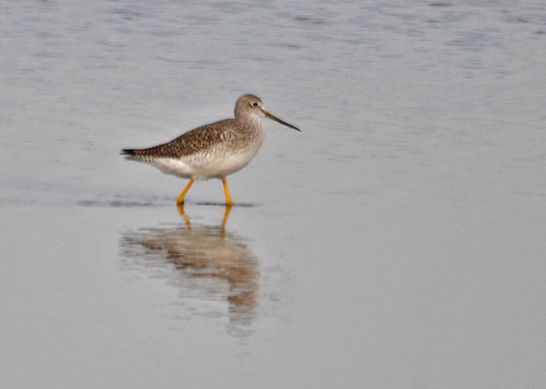 "<div class=""jaDesc""> <h4> Greater Yellowlegs Searching - December 16, 2014 </h4> <p> This Greater Yellowlegs was walking in the shallows at Chincoteague Wildlife Refuge.  There was a flock of about 50 spread out over a large area.</p> </div>"