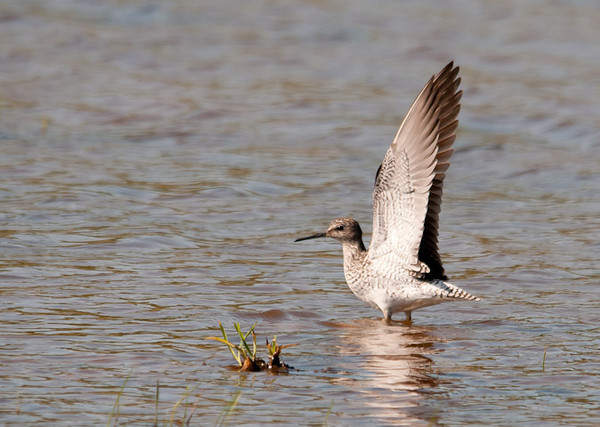 """<div class=""""jaDesc""""> <h4> Greater Yellowlegs Alarm Signal - May 17, 2012 </h4> <p> When this male Greater Yellowlegs saw me reposition a bit, he gave an immediate alarm signal to the female on the far bank.  He raised his wings straight up and gave a harsh call.  The wings stayed up for about 15 seconds until he was satisfied I was no longer a threat.</p> </div>"""