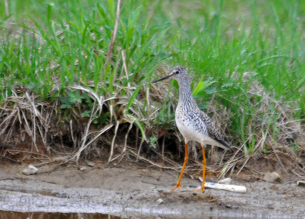 """<div class=""""jaDesc""""> <h4> Yellowlegs by Vernal Pool - May 13 2014 </h4> <p> This Yellowlegs was getting ready to enter the vernal pool along with several others at the Goethius Wetland in Brooktondale, NY.  I always struggle to tell the difference between Greater and Lesser when they are not together; I will get some help on which one this is.</p> </div>"""