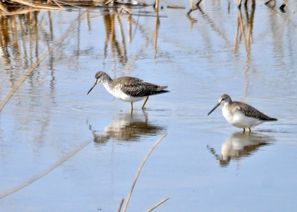 "<div class=""jaDesc""> <h4> Greater Yellowlegs Pair Foraging - November 10, 2014 </h4> <p> Several pairs of Greater Yellowlegs were foraging in the main pool at Montezuma NWR.</p> </div>"