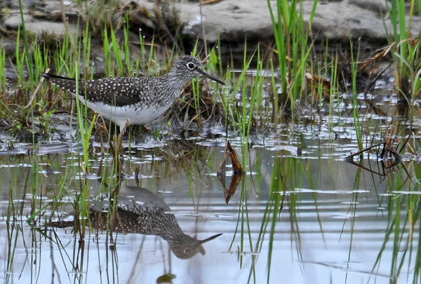 """<div class=""""jaDesc""""> <h4> Yellowlegs Wading - May 13 2014 </h4> <p> There were several Yellowlegs in the vernal pools at the Goethius Wetland in Brooktondale, NY.  I always struggle to tell the difference between Greater and Lesser when they are not together; I will get some help on which one this is. </p> </div>"""