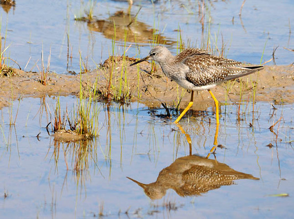 """<div class=""""jaDesc""""> <h4> Lesser Yellowlegs Foraging - August 29, 2010 </h4> <p> About half a dozen Lesser Yellowlegs were foraging along with Killdeer in shallow water at the Montezuma Refuge on the north end of Cayuga Lake in New York.</p> </div>"""
