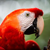 Lada the Scarlet Macaw