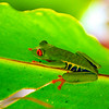 The red-eyed tree frog is the classic Costa Rica image.