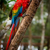 The Scarlet Macaw at Juma Lodge