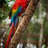 The Scarlet Macaw at Juma Lodge