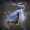 Great Blue Heron. Conservation Nature Center, Springfield, MO.