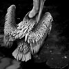 Pelican in Black and White