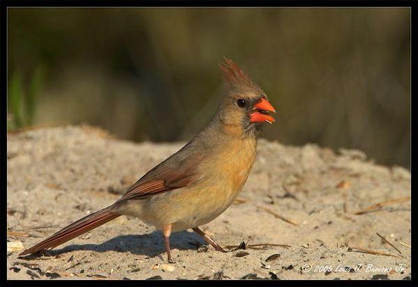 Northern Cardinal, Female - Cardinalis cardinalis