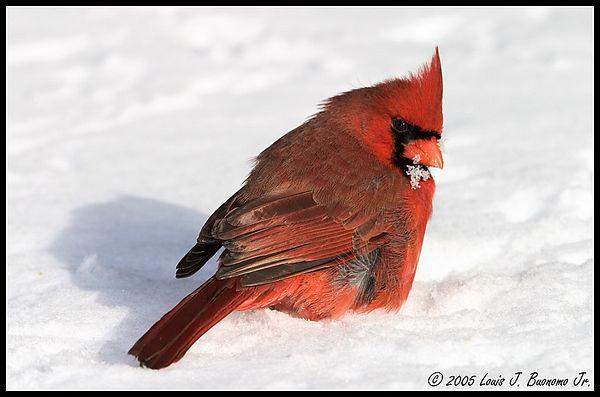 Northern Cardinal - Cardinalis cardinalis<br /> Eating in Snow<br /> Winter 2005