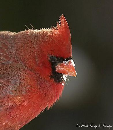Northern Cardinal - Cardinalis cardinalis<br /> Portrait with Highlight<br /> Winter 2005