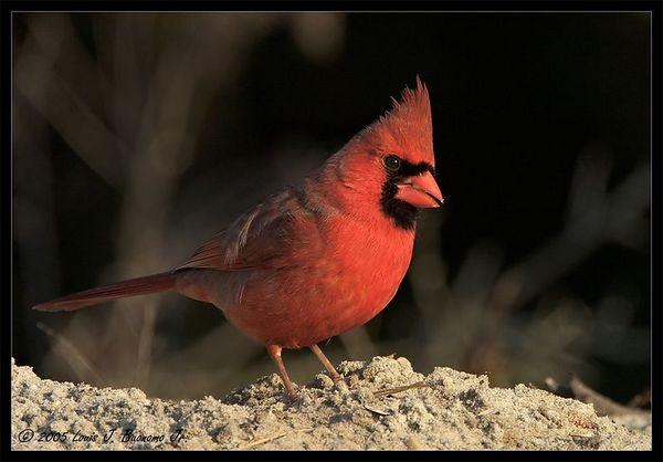 Northern Cardinal, Male - Cardinalis cardinalis