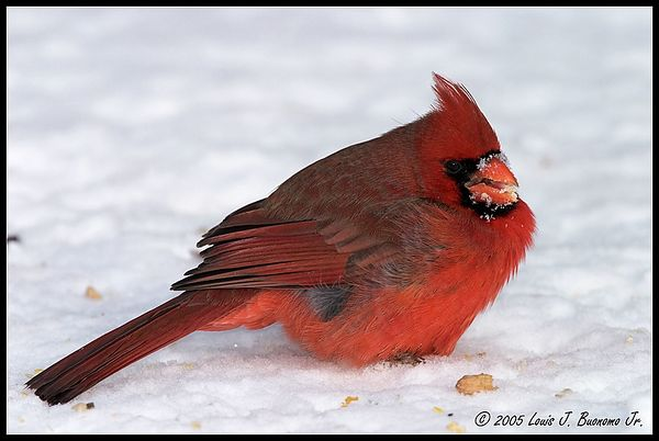 Northern Cardinal - Cardinalis cardinalis<br /> Eating in Snow<br /> Winter 2005