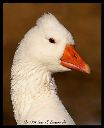 Snow Goose -Chen caerulescens<br /> <br /> Miller Pond Smithtown December 2004