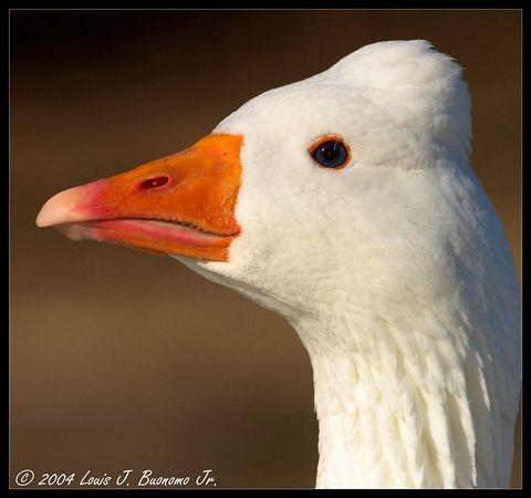 Snow Goose -Chen caerulescens<br /> <br /> Miller Pond Smithtown December 2004