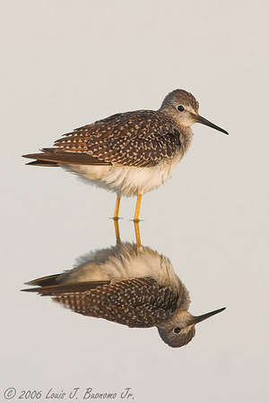 Yellowlegs with reflection Jamaica Bay NWR August 2006