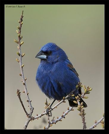 Blue Grosbeak, Male -Guiraca caerulea<br /> <br /> Jones Beach, Long Island NY May 2005