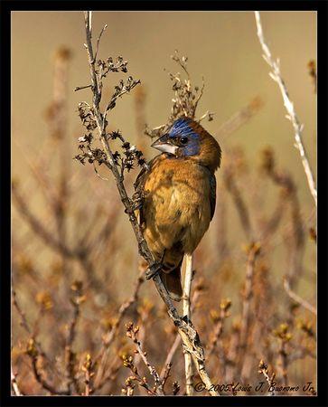 Blue Grosbeak, Inmature Male -Guiraca caerulea<br /> <br /> Jones Beach, Long Island NY May 2005