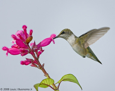 Ruby-throated Hummingbird with red salvia, baiting hollow NY