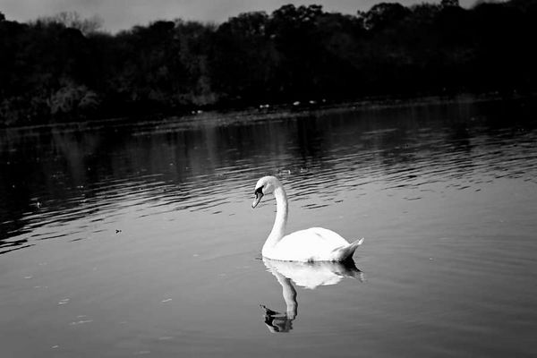 Swan at Belmont State park - Sept 2003