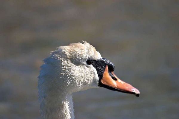 Mute Swan - Sunken Meadow 5-8-04