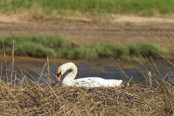 Mute Swan Nesting - Sunken Meadow 5-8-04