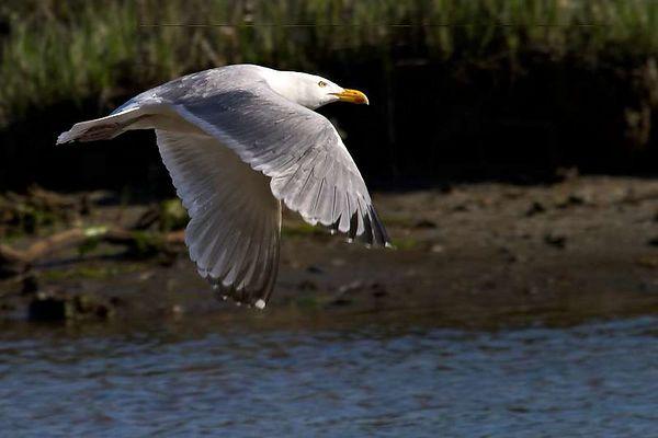 Seagull - Sunken Meadow 5-8-04