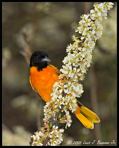 Baltimore Oriole Icterus galbula  Jones Beach - West End