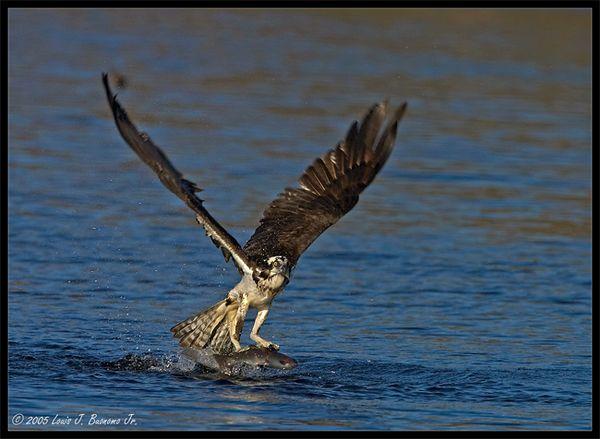 Osprey - Pandion haliaetus<br /> <br /> Spring 2005 - Connetquat State Park NY