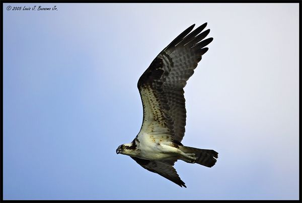 Osprey - Pandion haliaetus<br /> <br /> Summer 2005 - Sunken Meadow State Park NY