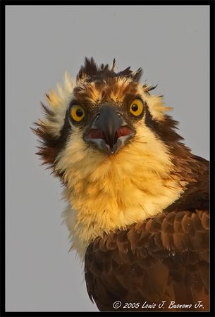 Osprey Head Shot  - Pandion haliaetus<br /> <br /> Summer 2005 - Orient Point  State Park NY