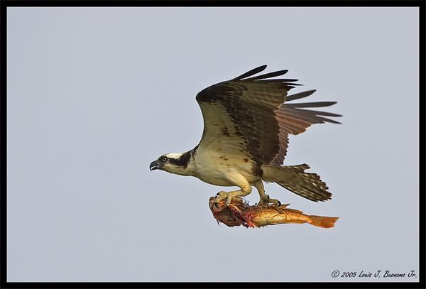Osprey with Sea Robin Catch - Pandion haliaetus<br /> <br /> Summer 2005 - Orient Point  State Park NY
