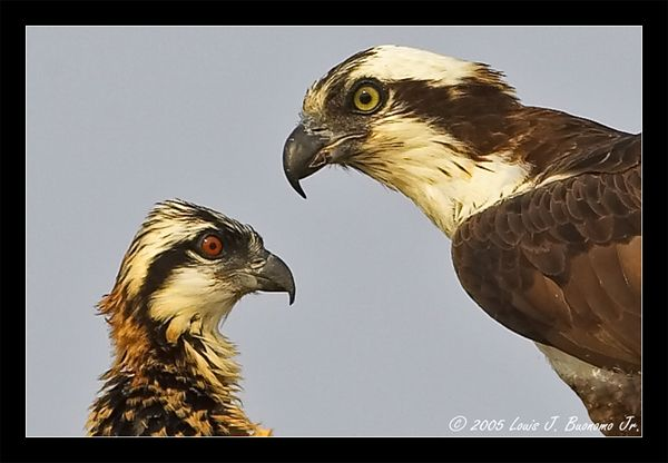 Osprey Chick and Parent - Pandion haliaetus<br /> <br /> Summer 2005 - Orient Point  State Park NY