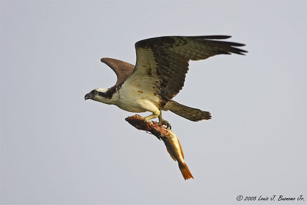 Osprey with Catch - Pandion haliaetus<br /> <br /> Summer 2005 - Orient Point  State Park NY
