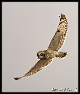 Short-eared Owl -Asio flammeus  Croton on the Hudson - Winter 2005