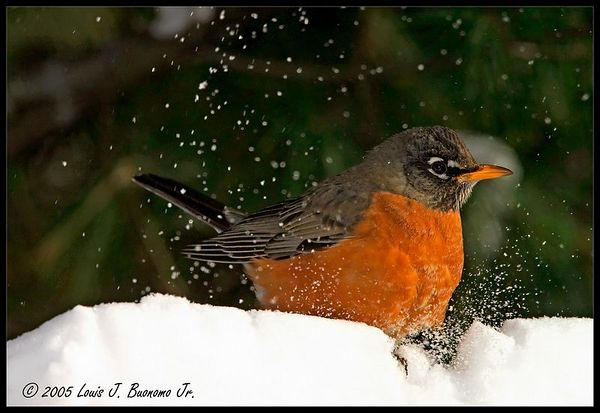 American Robin- Turdus migratorius<br /> Soft Landing in Snow<br /> Commack NY