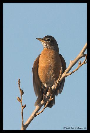 American Robin -<br /> Turdus migratorius, in early light<br /> <br /> Jones Beach, Long Island