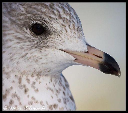 Gull - Miller Pond Smithtown December 2004