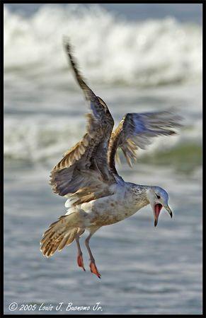 Seagull in flight at shoreline