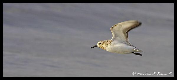 Sanderling in flight