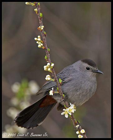 Gray Catbird<br /> Dumetella carolinensis<br /> <br /> Jones Beach - Est End