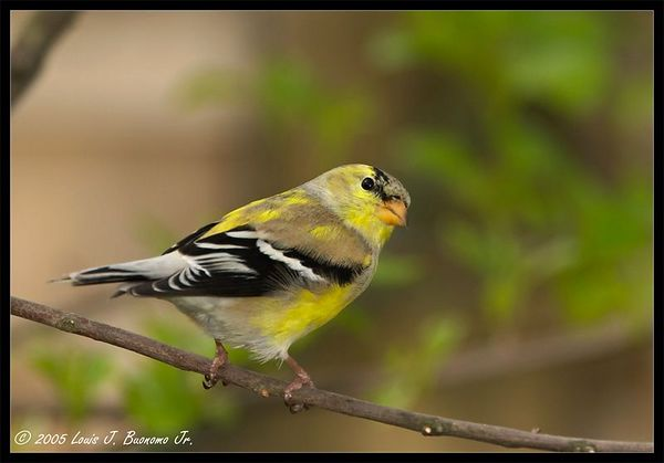 American Goldfinch, Male in breeding colors-Carduelis tristis