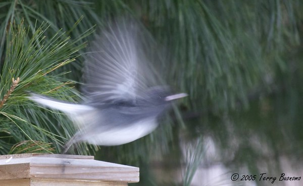 Dark-eyed Junco- Junco hyemalis<br /> Junco Takes Flight<br /> Winter 2005