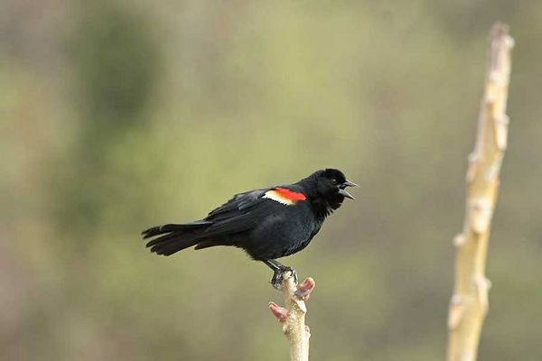 Red-winged Blackbird, Male-<br /> Agelaius phoeniceus<br /> <br /> - Sunkem Meadow Spring 04