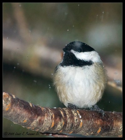 Black-capped Chickadee<br /> Poecile atricapilla <br /> In Snow<br /> Commack NY