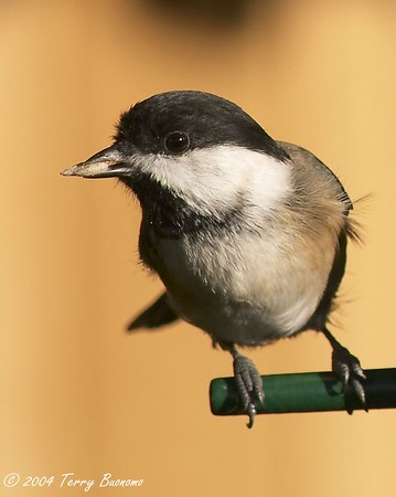Black-capped Chickadee<br /> Poecile atricapilla <br /> <br /> Commack NY
